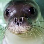 foca-monje.noticia