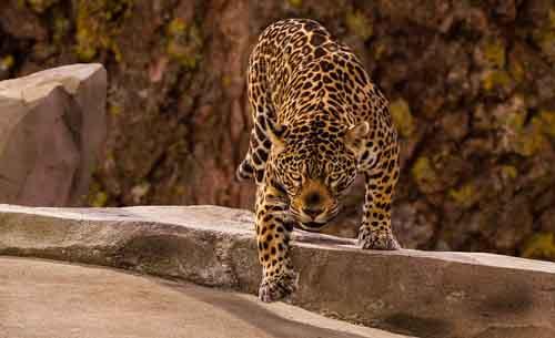 jaguar poema riet
