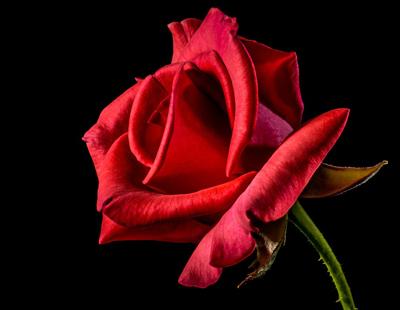 red-rose-320868_960_720